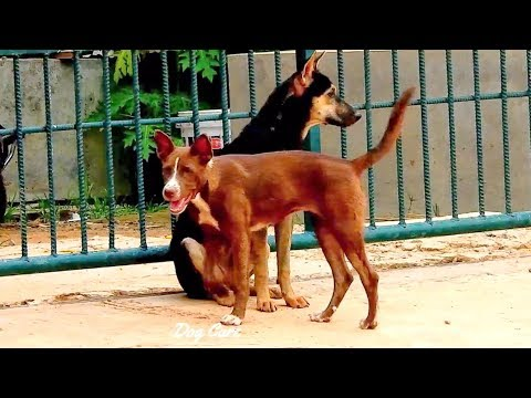 Andalusian Hound Dog play with australie kelpie and Indien desi dog