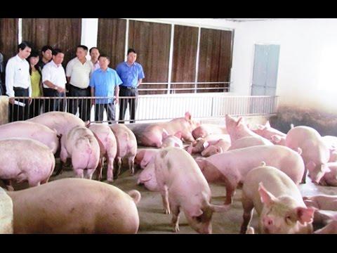 Làm giàu từ chăn nuôi lợn (heo), mô hình làm giàu thành công