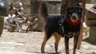 ABORIGINAL TIBETAN MASTIFF - Do Khyi of Tibet