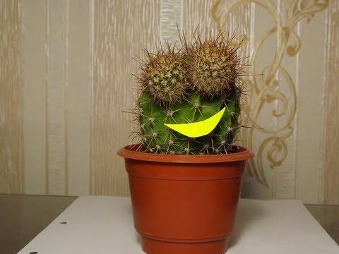 Как заставить кактус цвести!