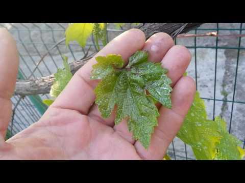 Милдью и Антракноз,две болезни-одна обработка | виноград | дача | сад