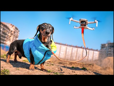 How to live at home quarantine!? Cute & funny dachshund dog video!