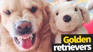 Funniest and Cutest Golden Retriever Viral Video Compilation 2019 Video