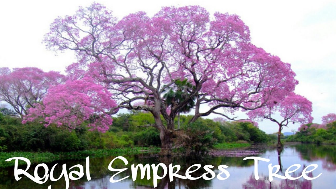 EMPRESS TREE | Paulownia Tomentosa | Fastest growing tree ...