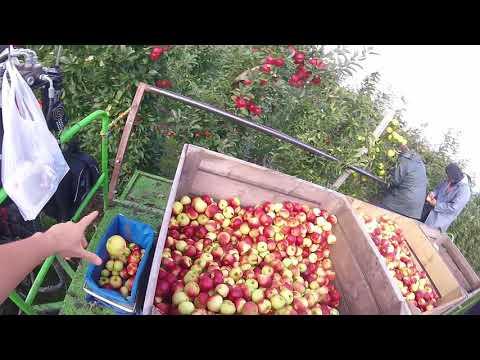 Holandia: Zbiór jabłka z maszyny