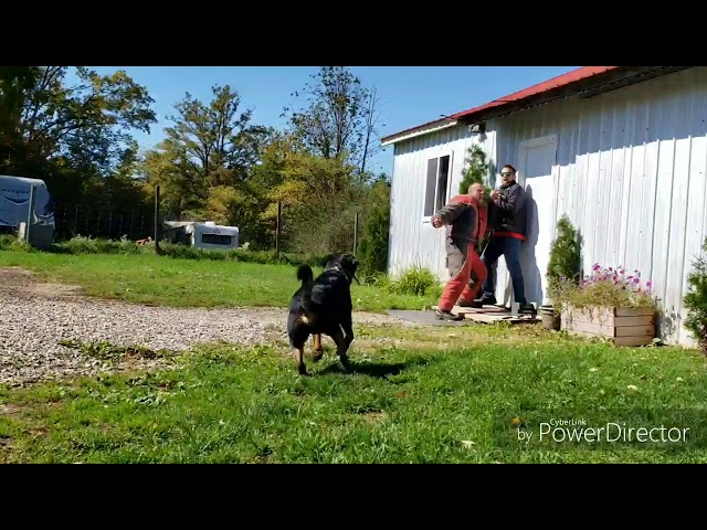 For Sale Real Protection Scenarios with Rottweiler - Shield K9