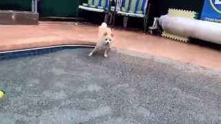 8 month old Pomeranian Puppy is introduced to water in swimming pool for first time