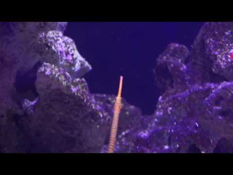 Yellow Banded Pipe Fish