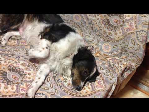 Собака заболела пироплазмозом.