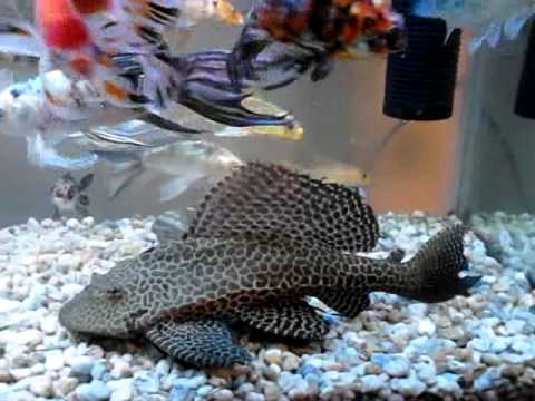 Carpas koi olguin youtube for Costo carpa koi