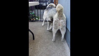 Siberian Husky Breeding