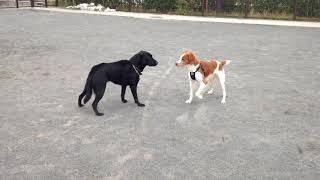 近所の公園で猟犬のブリタニースパニエルと遊んだ黒ラブちゃん。大型犬×...