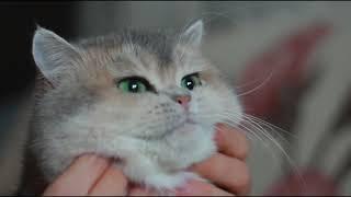моем кота сухим шампунем и вычесываем! Dry shampoo for cats and combing