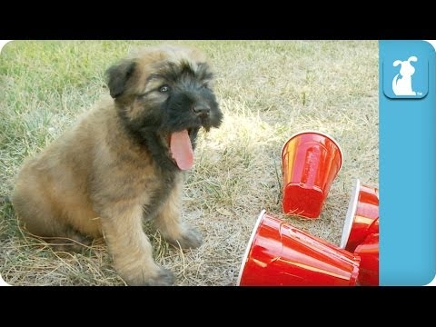 Wheaton Terrier Puppies Play with Red Solo Cups - Puppy Love