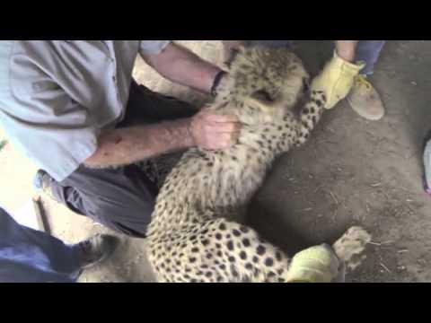 Cheetah Cubs Moved At Metro-Richmond Zoo