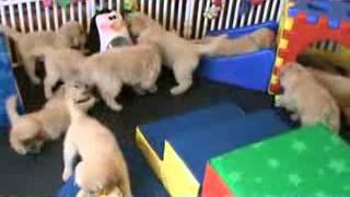 Golden Retriever Puppies Attack An  Penguin -part2
