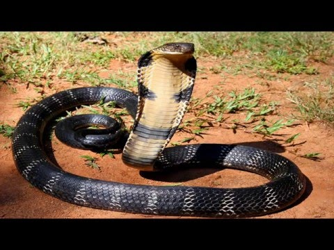 Thumbnail: The Most Dangerous Snake Discovery Channel Documentary HD