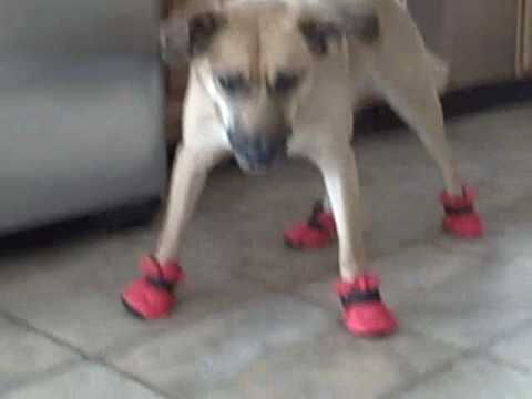 Doggy Boots! (Hilarious)