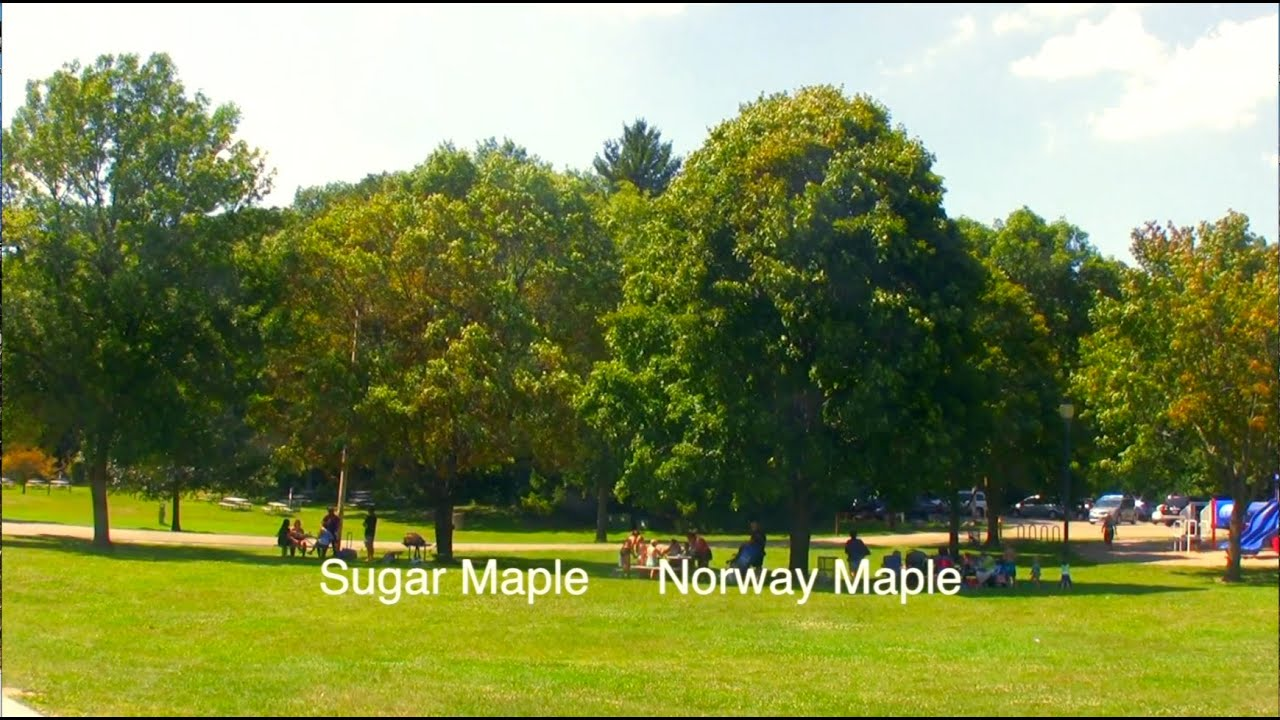 How To Tell Sugar Norway Maple Apart YouTube - Norway maple vs sugar maple