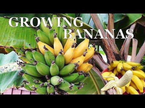 Three Year Bananas - Growing dwarf banana trees in your garden
