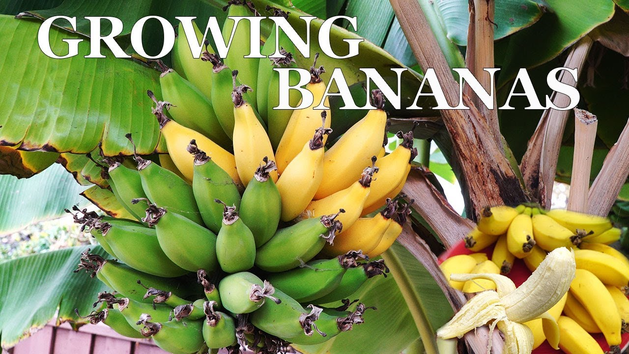 Three Year Bananas Growing Dwarf Banana Trees In Your Garden