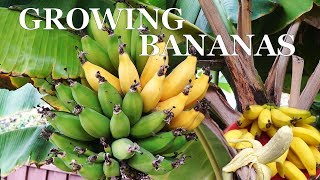 Three Year Bananas - Growing dwarf banana trees in your garden