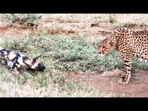 Wild Dogs Vs Cheetah Standoff Over A Kill