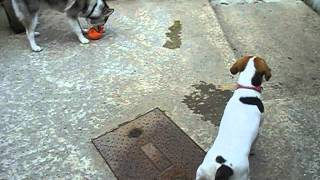 Siberian Husky Pup, Springer Spaniel Cross Labrador And Beagle Socialise