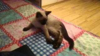 Тайская кошка лежит в необычной позе