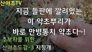 산야초도감-3 들판에 깔려있는 이 약초뿌리가 바로 만병…