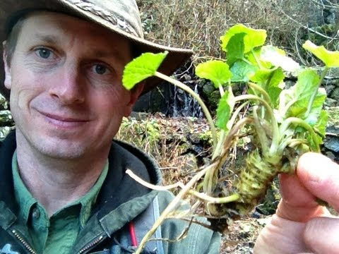 Japanese wasabi growing in a mountain stream 日本語のストリームで野生 ...