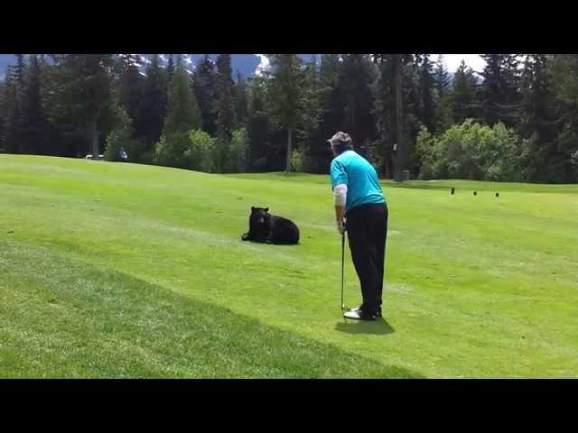 Black bear playing golf!
