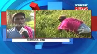 Chakada pests damage paddy in Sambalpur