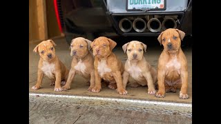 how i pick out my keeper puppies from a million dollar litter MY PROCESS