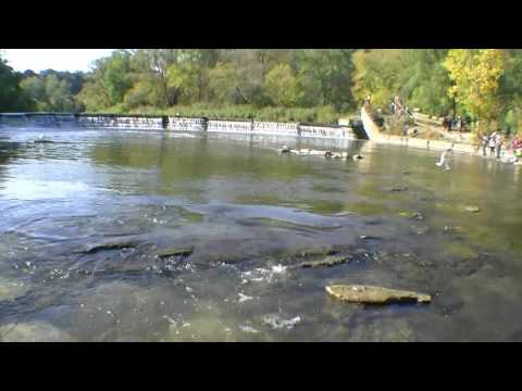 Atlantic Salmon Run