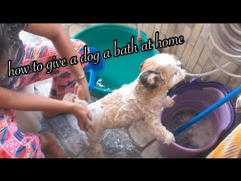 How to give a dog a bath at home (Philippines) |Shih Tzu