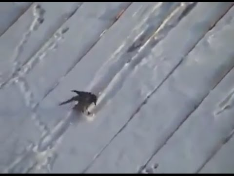 Crow skiing down a roof