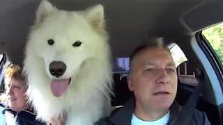 Самоедская собака Максимус в автомобиле Пару слов о ЗОЖ
