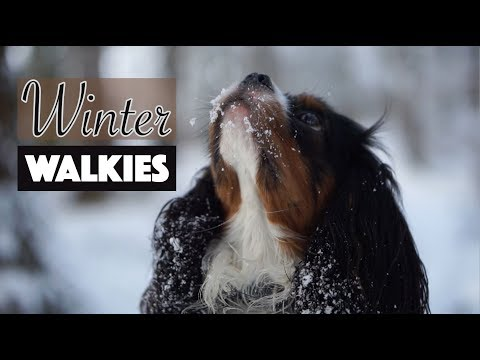 Snowy Winter Walk with Dog | Cavalier King Charles Spaniel