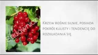 Krzewy Owocowe - Porzeczka Czerwona