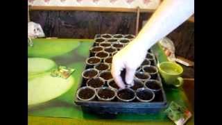 Выращивание рукколы. Пошаговые действия. Это полезно знать. // Олег Карп