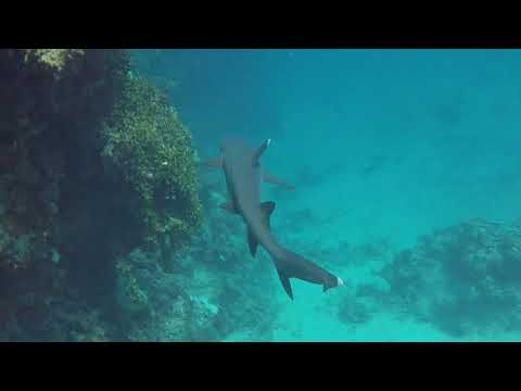 Whitetip reef shark (Triaenodon obesus) at the great barrier reef