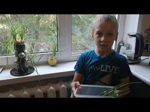 Миша ТВ. Как Миша вырастил зеленый лук на окне