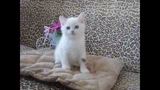 Котёнок Bentley Moon Grace BRI ns 11 33