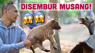 Download Video LAGI JALAN-JALAN DI TAMAN... TIBA-TIBA KETEMU MUSANG! | ANUBIS THE BELGIAN MALINOIS MP3 3GP MP4