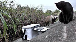 【野生動物】怒りの突進!平和主義のタヌ吉にも譲れない物がある。【魚くれくれ野良猫】