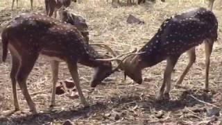 Two Stags Fighting | Red Deer Stags fighting live