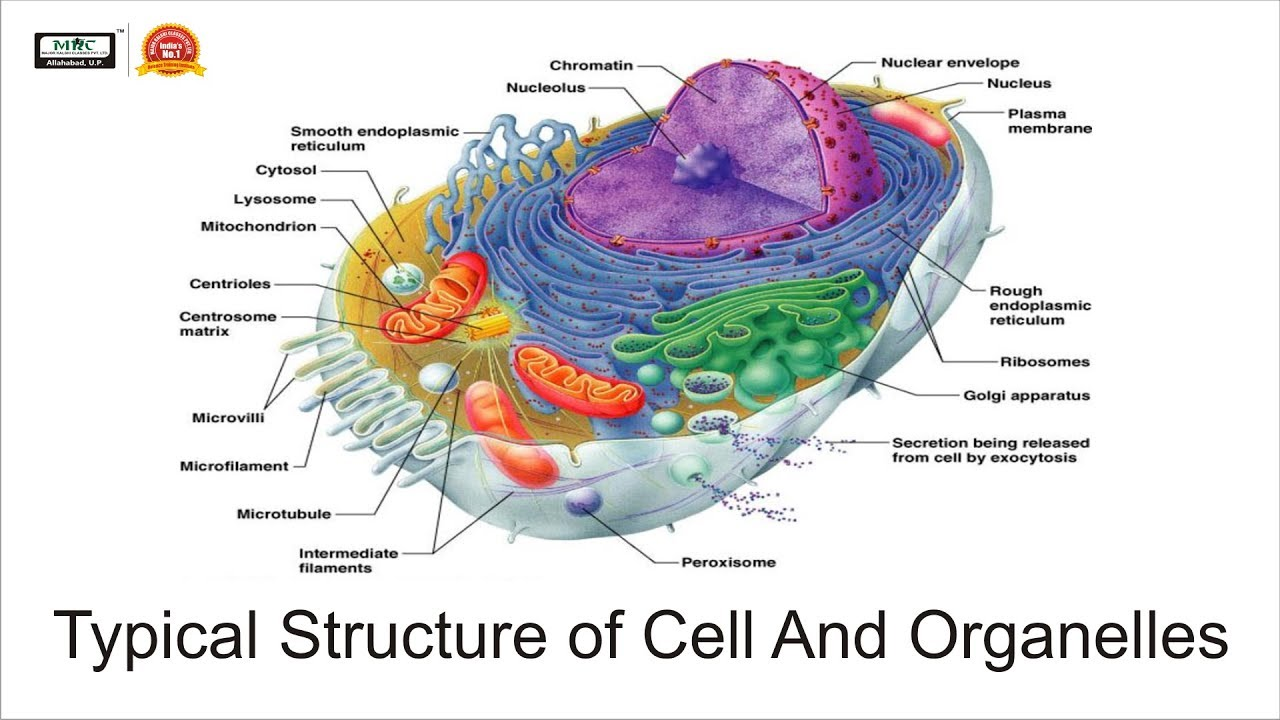 how the structure of cell organelles