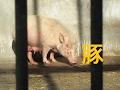 大宮公園小動物園 豚