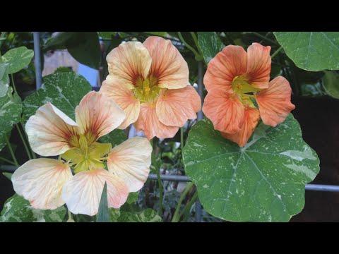 growing-and-eating-nasturtiums- -edible-flowers